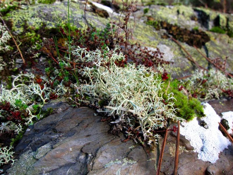 lichen-pole-nord