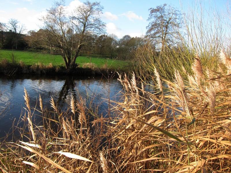 roselière-bordure-rivière